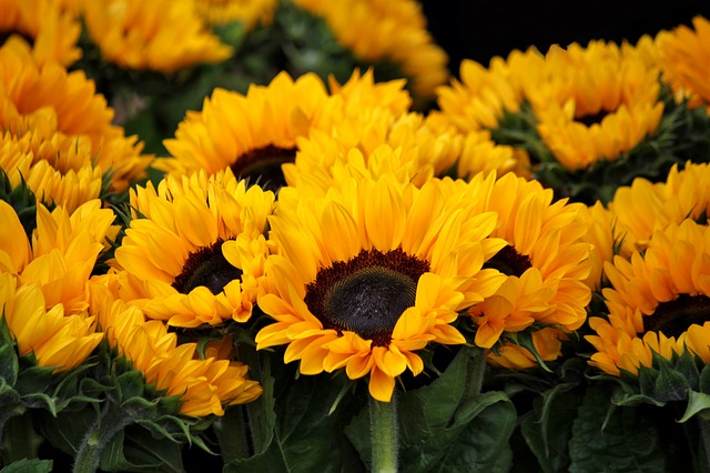 sunflower-378270_640