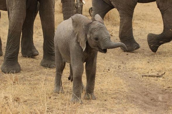 baby-elephant-278522_640