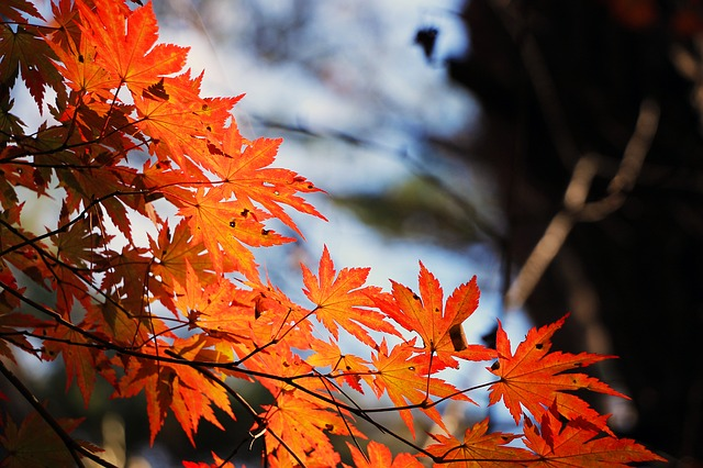 red-maple-leaf-507545_640