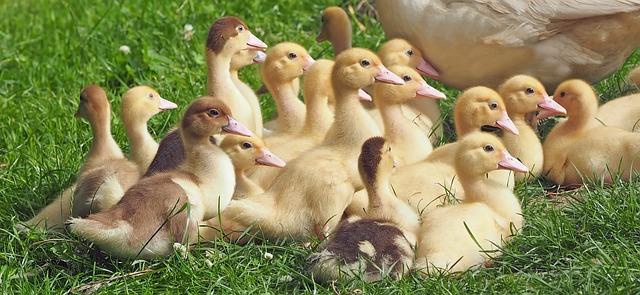 goslings-1566724_640