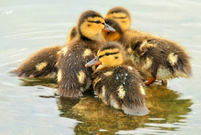 mallard-ducklings-940513_640