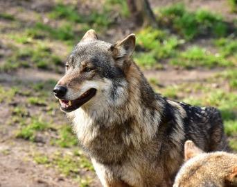 wolf-1288686_640