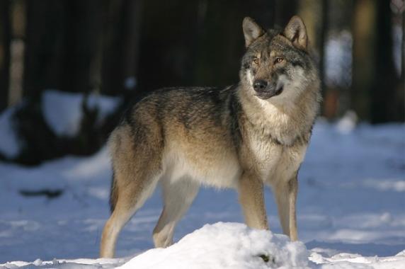 wolf-725388_640