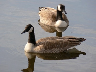 canada-geese-613031_640
