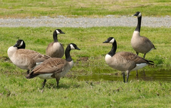 geese-649616_640