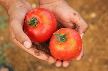 tomato-2450370_640