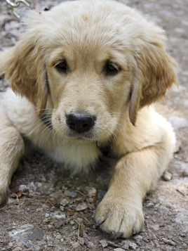 golden-retriever-2074013_1280