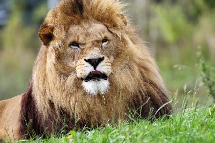 lion-1657969_640