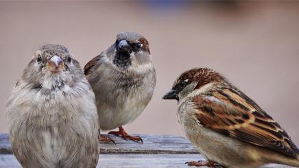 sparrows-2763083_640