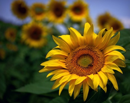 sunflower-2559262_640