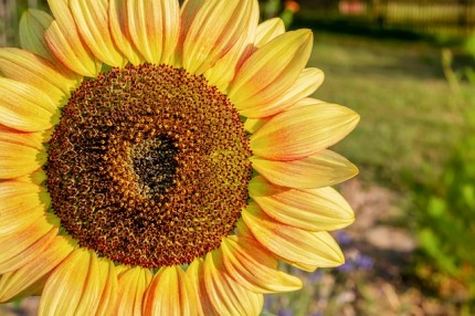sunflower-3540593_640