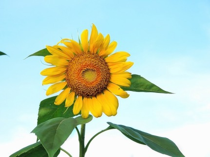 sunflower-666143_640