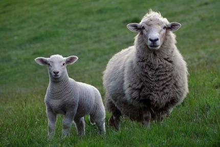 sheep-2625347_640.jpg