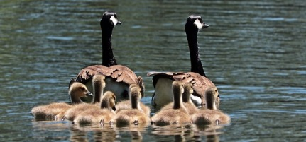 geese-2494952_640