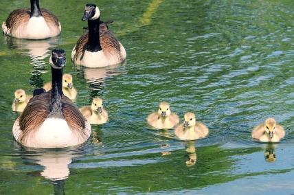 goose-family-4219653_640.jpg