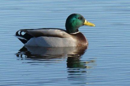 duck-3893202_640