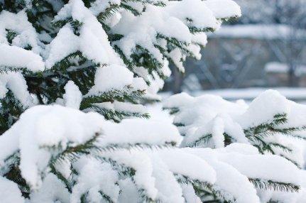 spruce-1848543_640