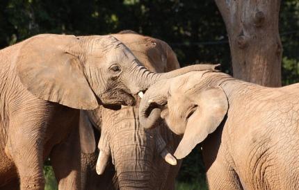 elephants-88982_640