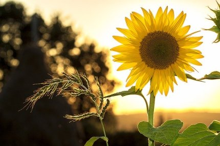sunflower-1127174_640-2