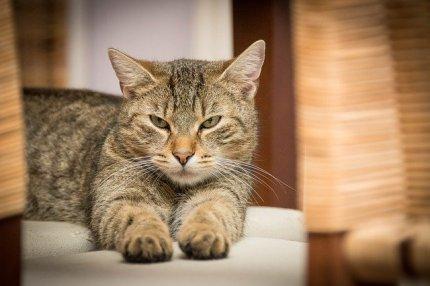 domestic-cat-726989_640