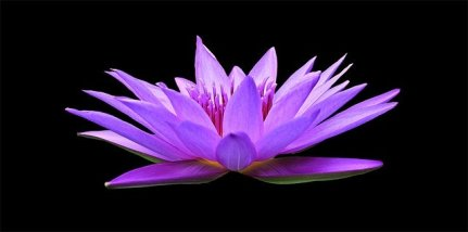 water-lily-1592771_640