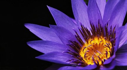 water-lily-2334209_640